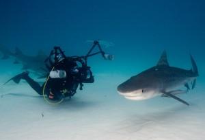 Jonathan Bird filming a Tiger Shark